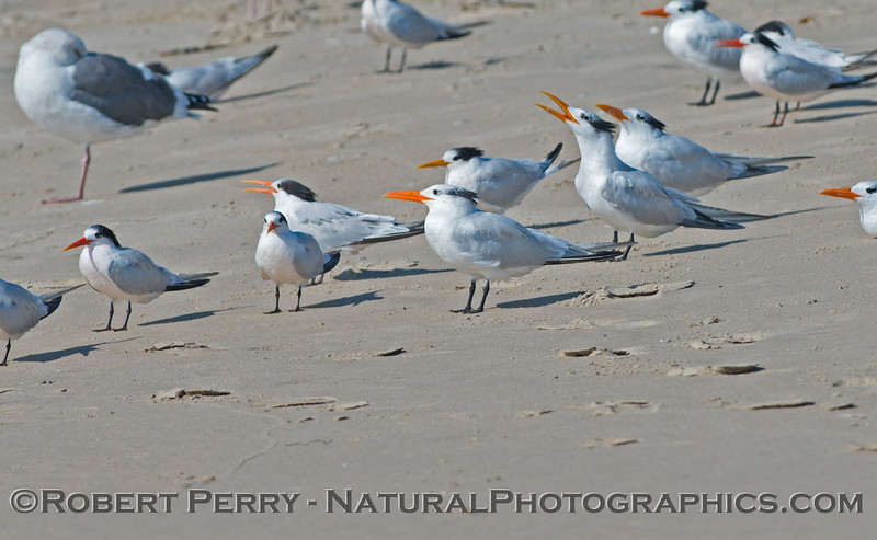 Elegant terns (<em>Sterna elegans</em>) rest on the sand.
