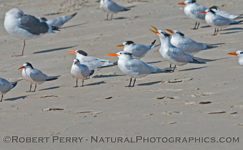Elegant terns (<em>Sterna elegans</em>) rest on the sand.