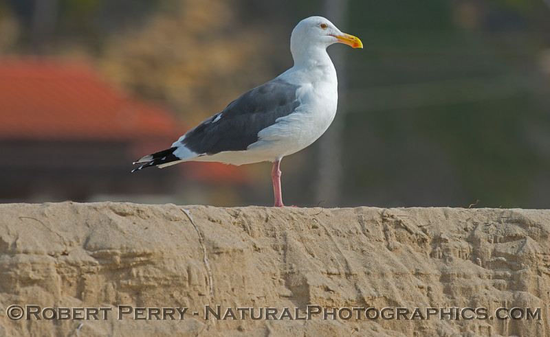 King of the hill. A western gull (<em>Larus occidentalis</em>) perched atop the sand berm.