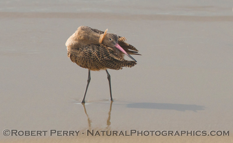 Yoga master on the beach.   A marbled godwit (<em>Limosa fedoa</em>) cleans its feathers.