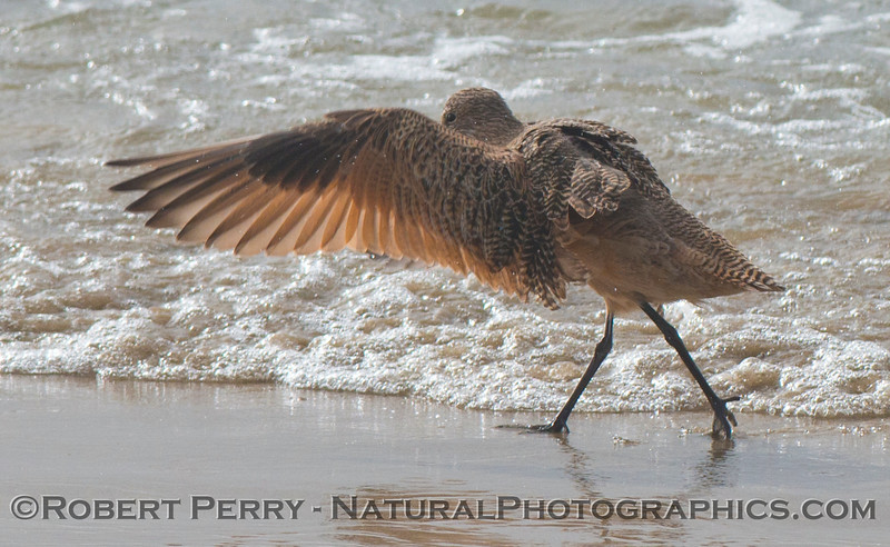 A marbled godwit (<em>Limosa fedoa</em>) spreads its feathers to shake the water off after bathing.