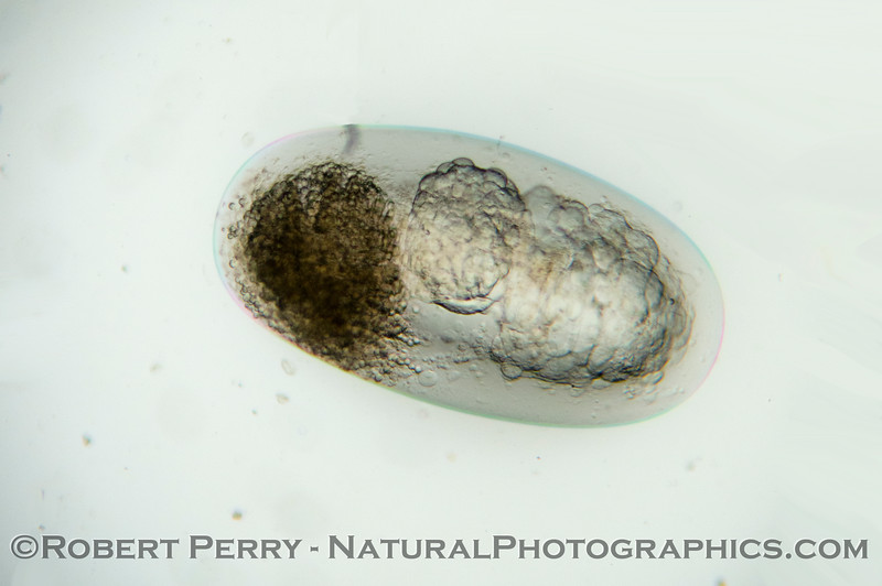 Embryo of a northern anchovy (<em>Engraulis mordax</em>) found in today's plankton sample.