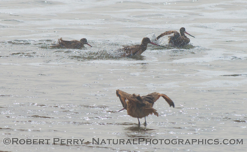 Marbled godwits bathing in the surf. (<em>Limosa fedoa</em>).