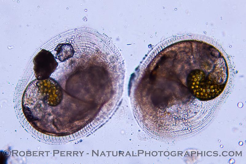 plankton veligers TWO 2013 01-10 Zuma-g-007