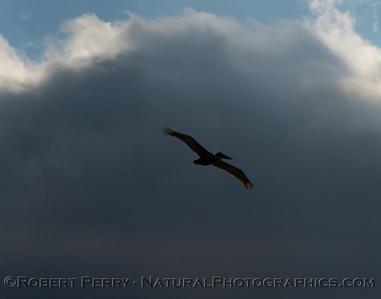 Pelecanus occidentalis flight & sun and clouds 2013 01-10 Zuma-005