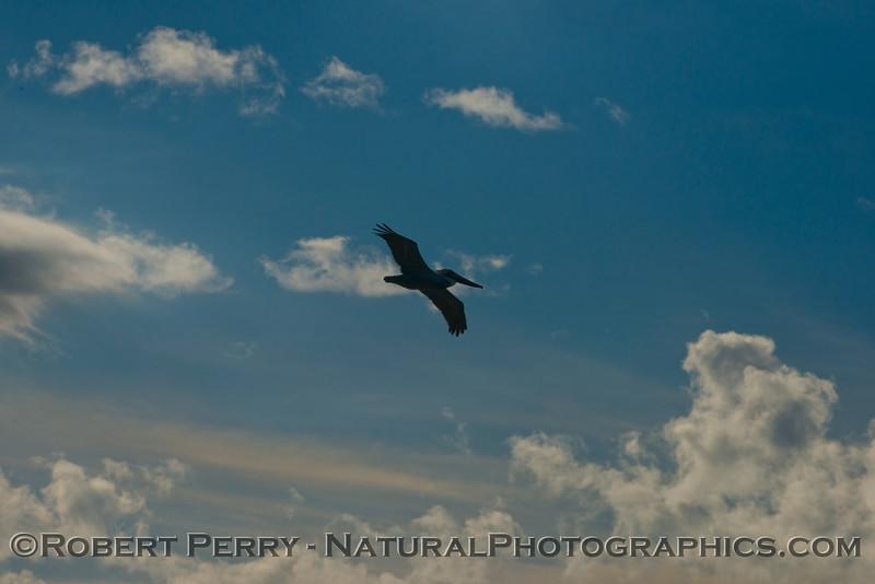 Pelecanus occidentalis flight & sun and clouds 2013 01-10 Zuma-013