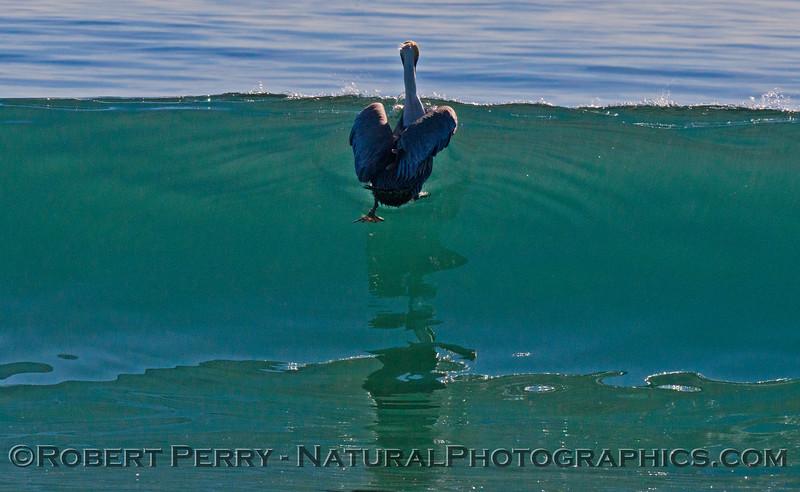Pelecanus occidentalis feeding in shallow water 2013 01-17 Zuma-011