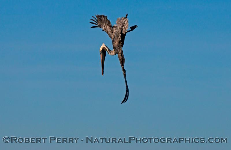 Pelecanus occidentalis in flight 2013 01-17 Zuma-008