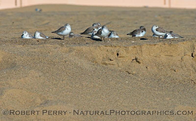 Calidris alba group sleeping on sand 2013 01-17 Zuma-342