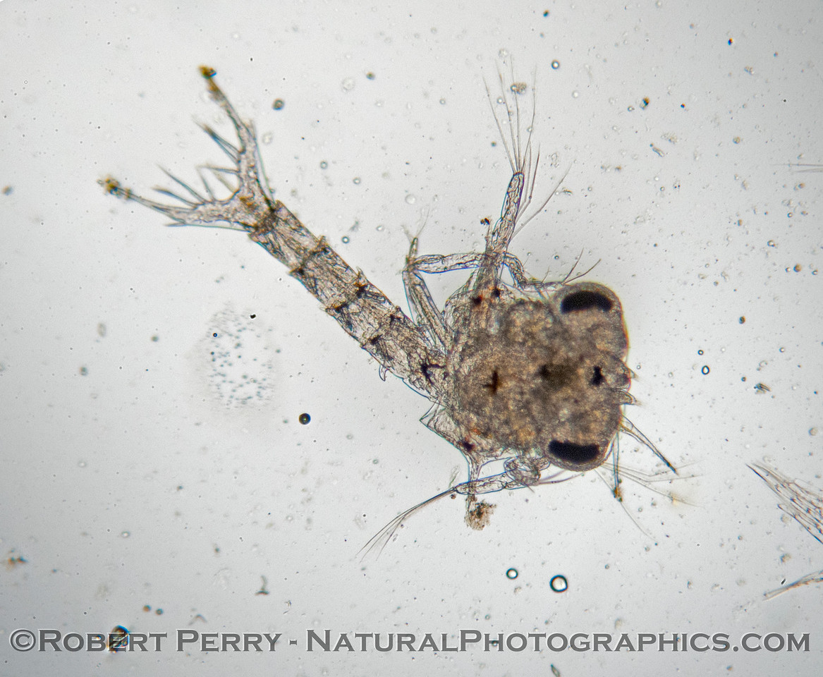 A zoea of a true (Brachyuran) crab.  Several were found in the plankton sample this week.