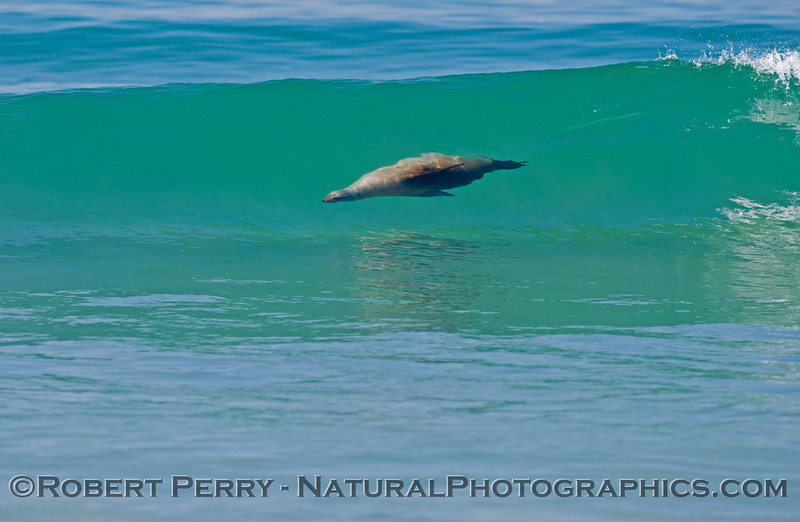 A surfing California sea lion (<em>Zalophus californianus</em>) rides a clear blue Zuma Beach wave.