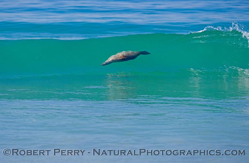 A surfing California sea lion (<em>Zalophus californianus</em>) rides a clear blue Zuma Beach wave.