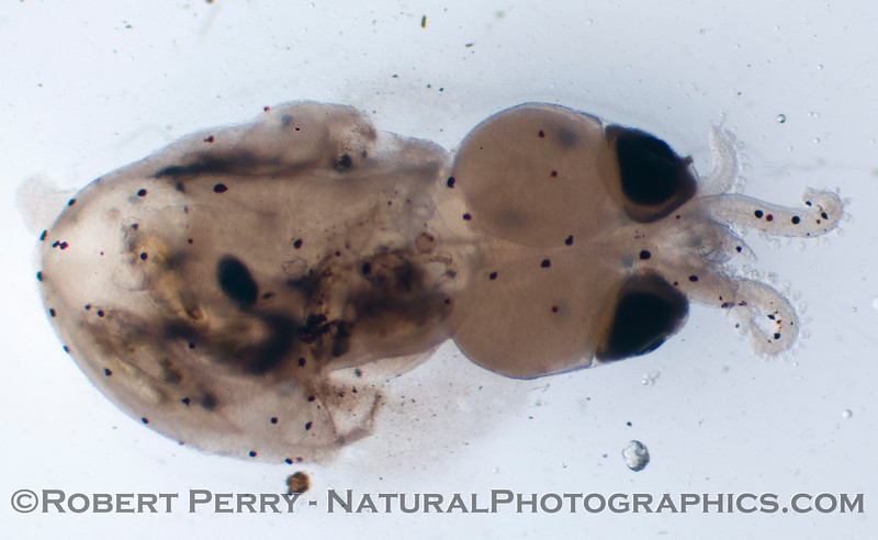 Doryteuthis opalescens squid paralarva 2013 02-014 Zuma-194