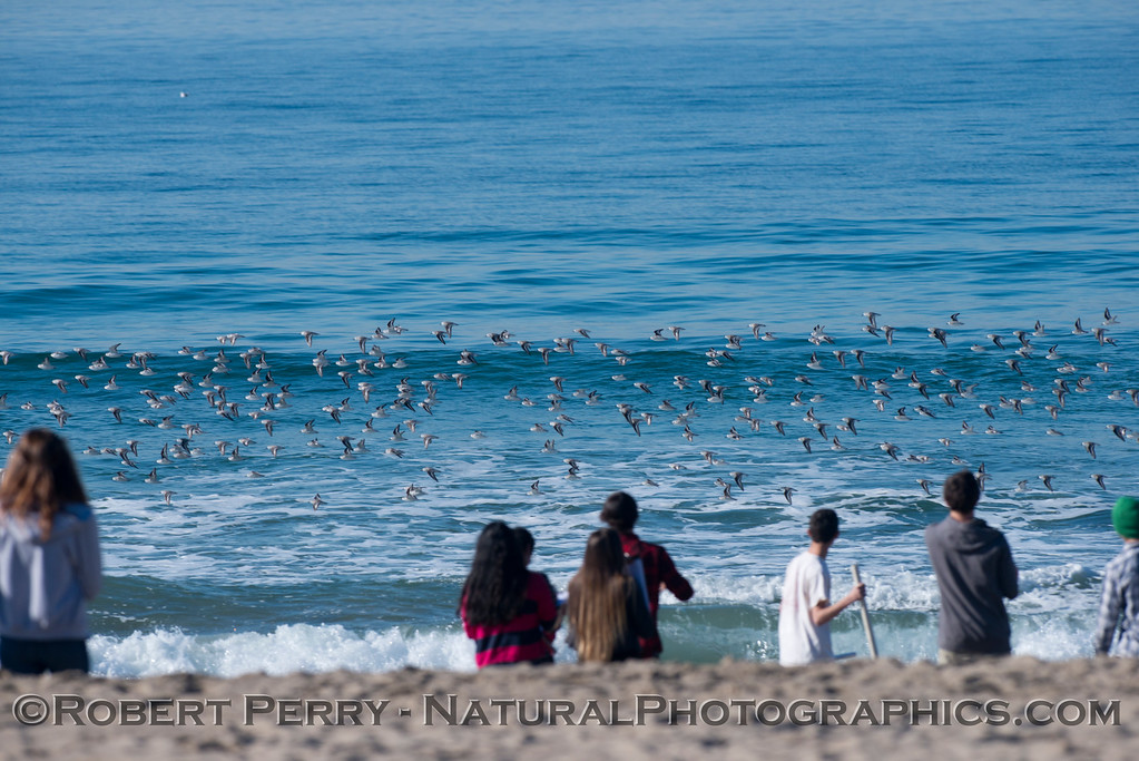 Student researchers observe a flock of sanderlings (<em>Calidris alba</em>).