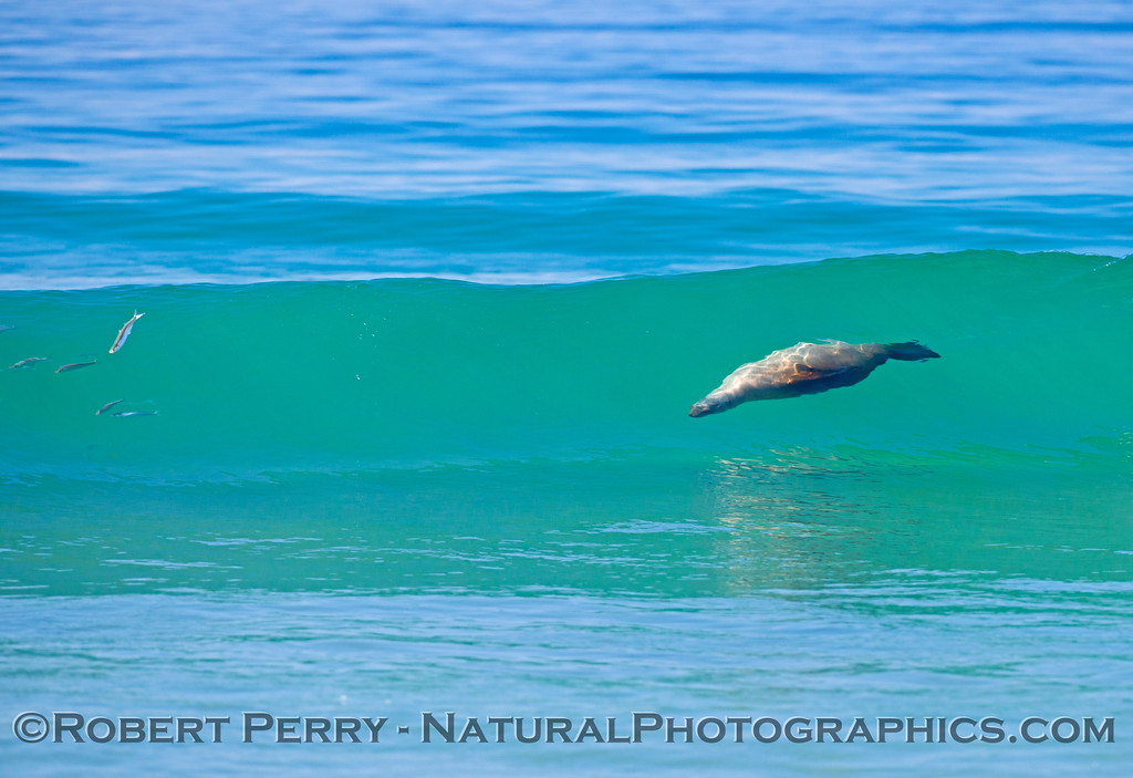 A surfing California sea lion (<em>Zalophus californianus</em>) rides a clear blue Zuma Beach wave.  Ahead of the sea lion some fish are seen in the wave and jumping out as they sense the on-coming predator.