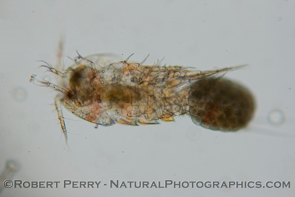 copepod with egg sac 2013 02-21 Zuma-007