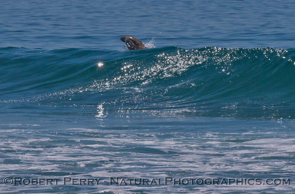A California sea lion (<em>Zalophus californianus</em>) pops out of a wave it had been riding..