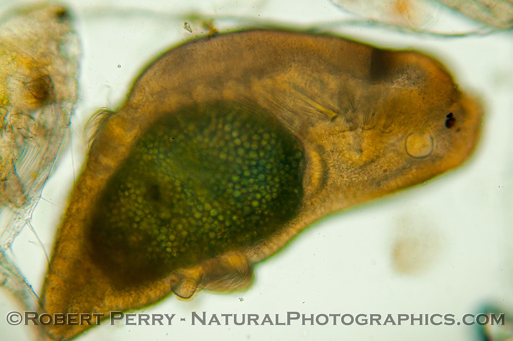 A close look at what we believe is a Müller's larva of a polyclad flatworm.