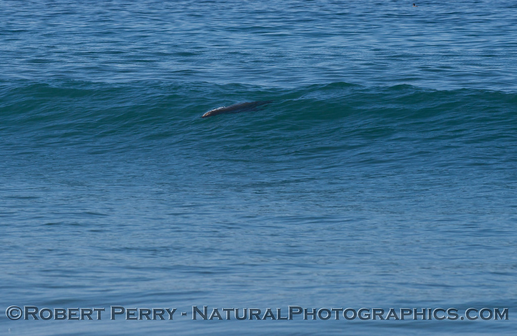 A California sea lion (<em>Zalophus californianus</em>) drops in on a wave.
