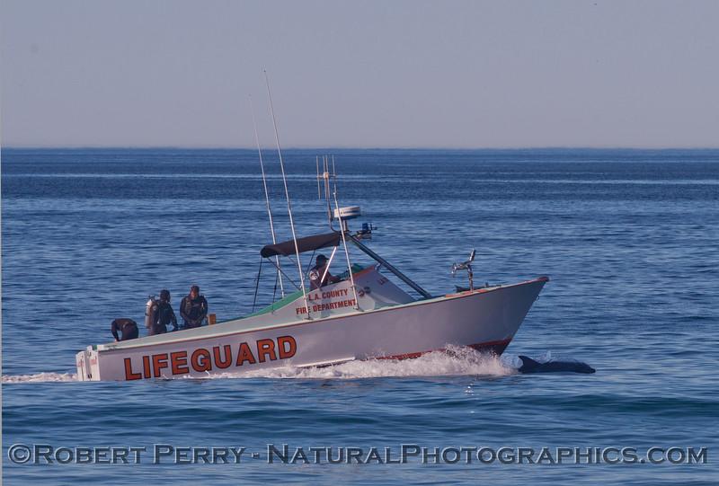 Bottlenose dolphins (<em>Tursiops truncatus</em>) ride the bow of the Baywatch.