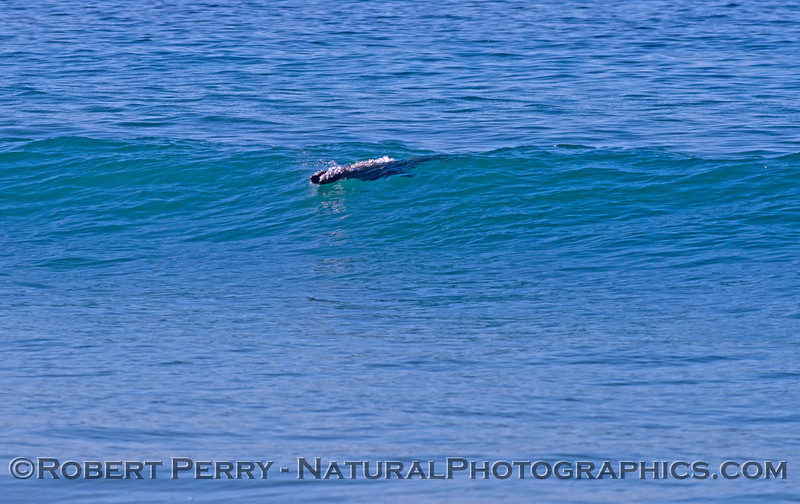 A California sea lion (<em>Zalophus californianus</em>) begins to take off on a wave.
