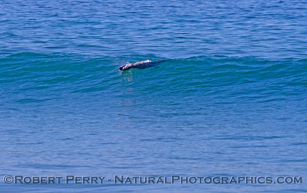 A California sea lion (<em>Zalophus californianus</em>) begins to take off on a wave.