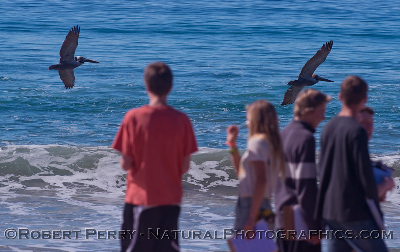 Student researchers observe the brown pelicans (<em>Pelecanus occidentalis</em>).