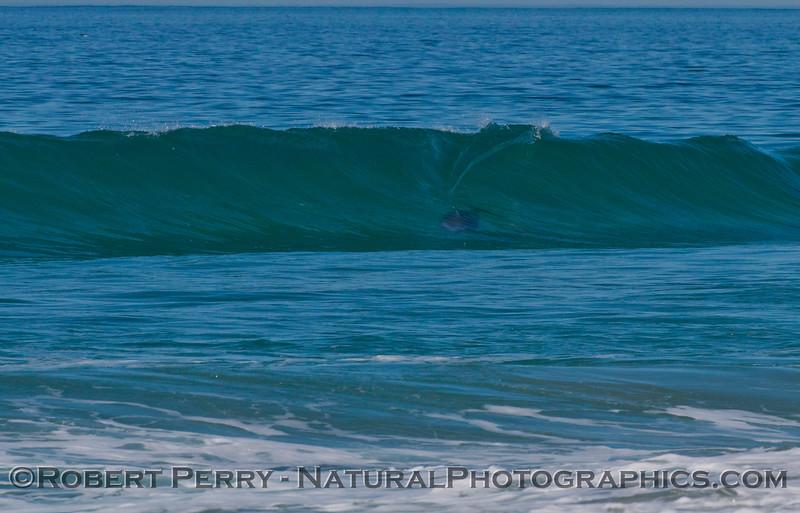 A bottlenose dolphin (<em>Tursiops truncatus</em>) rides a wave.