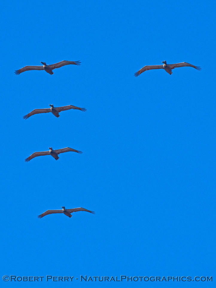 A squadron of brown pelicans (<em>Pelecanus occidentalis</em>) soar overhead.