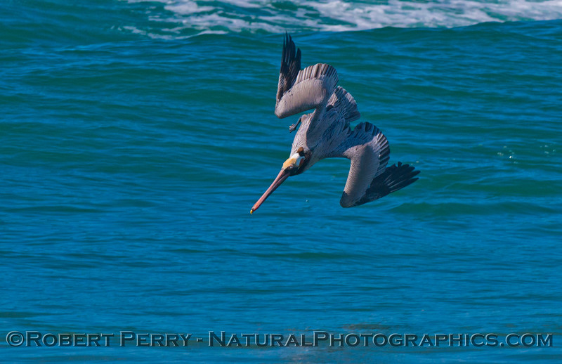 A brown pelican (<em>Pelecanus occidentalis</em>) is captured diving, just before impact.