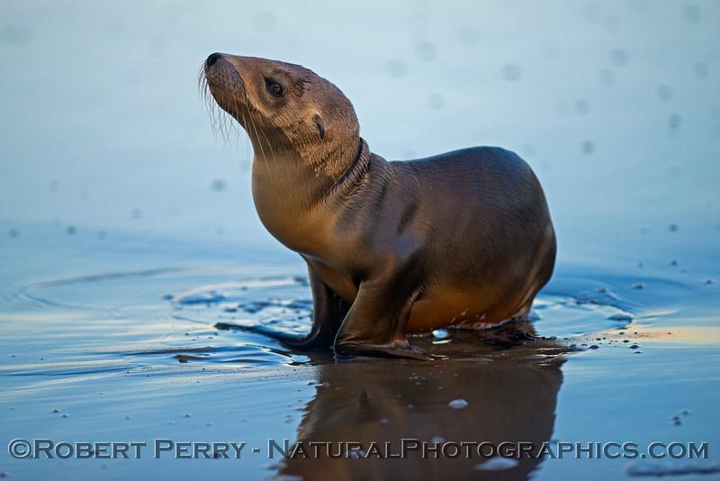 A juvenile California sea lion (<em>Zalophus californianus</em>) on the wet sand at dawn.