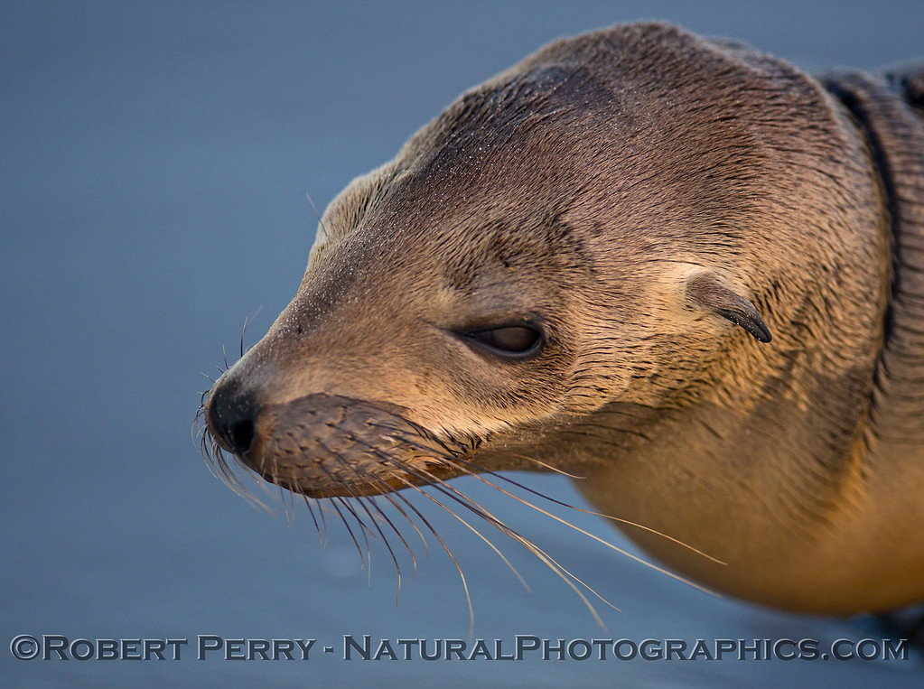 A close look at the vibrissae  of a juvenile California sea lion (<em>Zalophus californianus</em>).