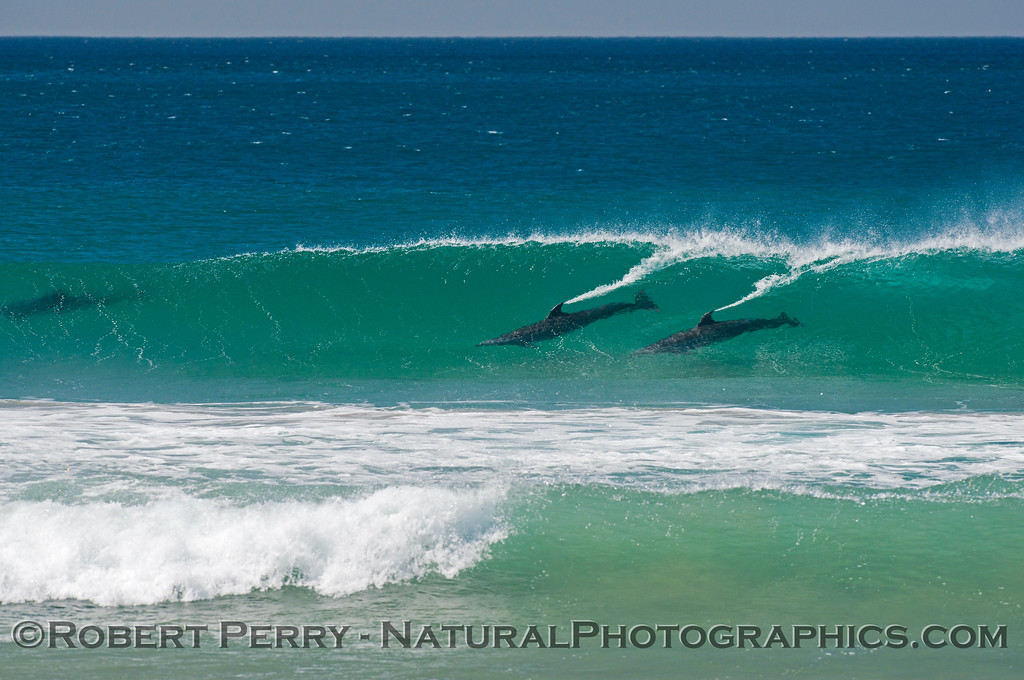 Inshore bottlenose dolphins (<em>Tursiops truncatus</em>) surfing.