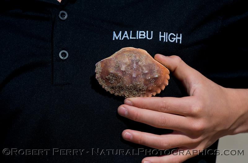 The carapace of a rock crab (<em>Romaleon anternnarius</em>), formerly known as <em>Cancer antennarius</em>.