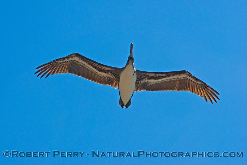 Looking up at a soaring brown pelican (<em>Pelecanus occidentalis</em>).