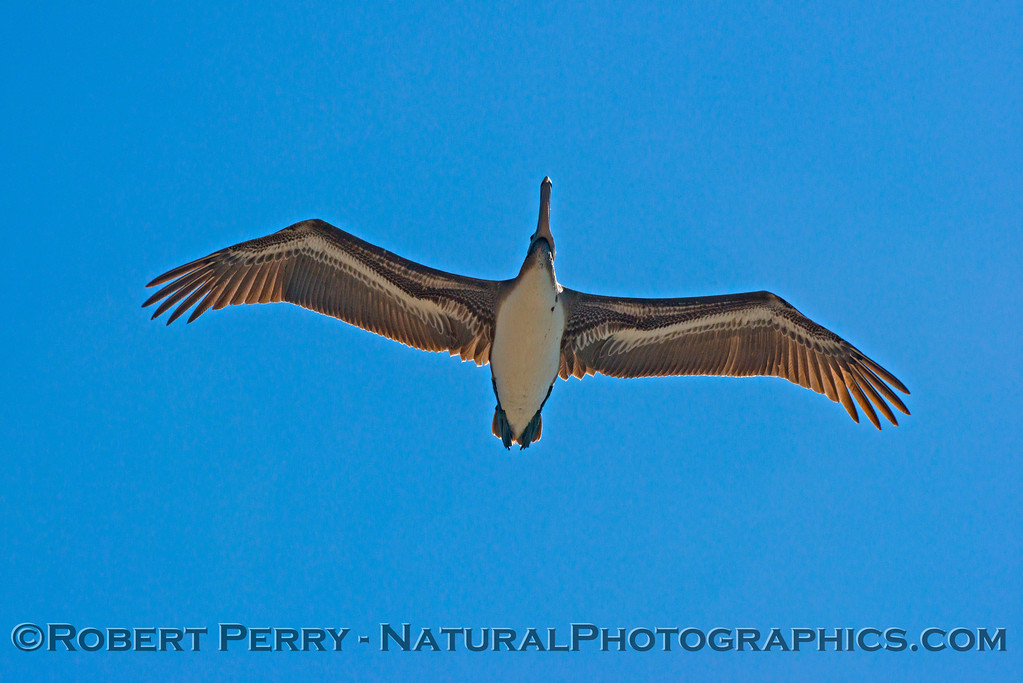 Looking up at a soaring brown pelican (<em>Pelecanus occidentalis</em>).