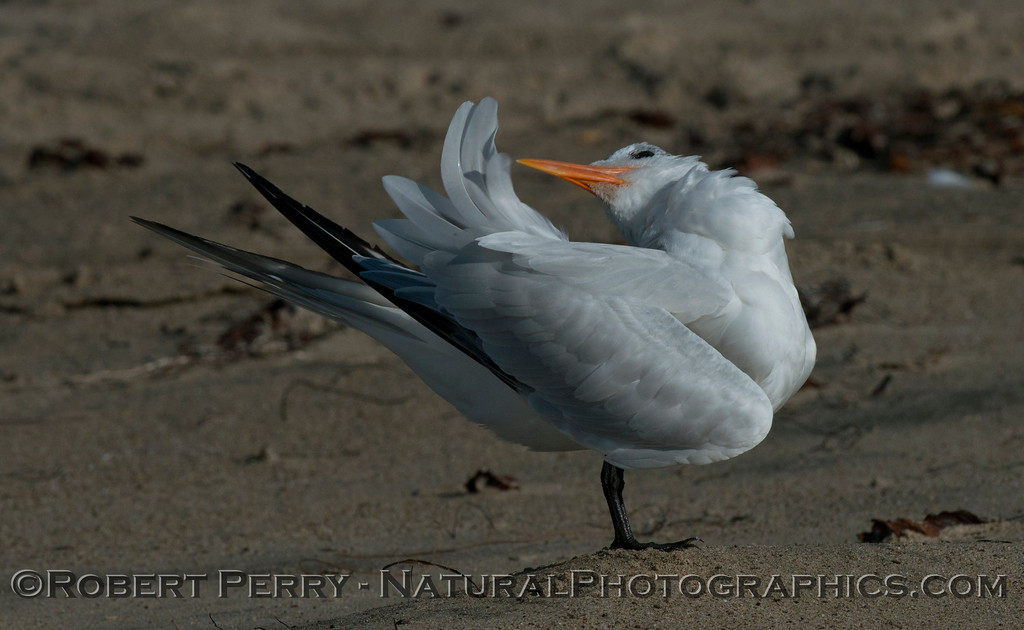 Image 1 of 3:  an elegant tern (<em>Sterna elegans</em>) shown grooming.
