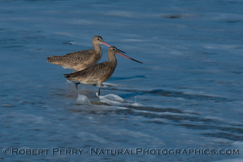 A pair of marbled godwits (<em>Limosa fedoa</em>) are shown wading in the wave swash.