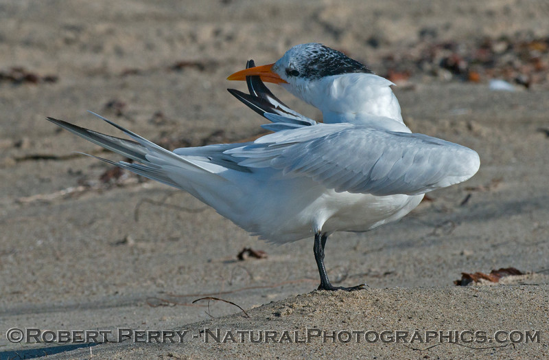 Image 2 of 3:  an elegant tern (<em>Sterna elegans</em>) shown grooming.