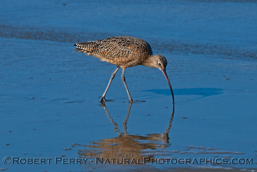 A marbled godwit (<em>Limosa fedoa</em>) is mirrored on the wet sand as it pokes around for sand crabs .