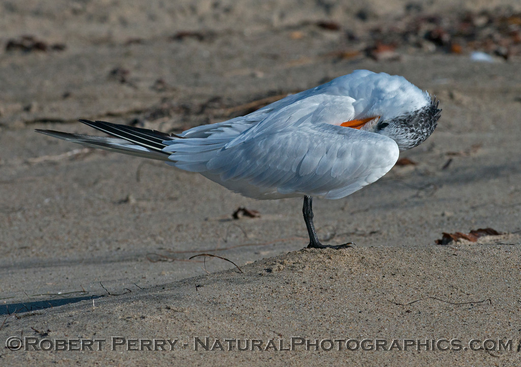 Image 3 of 3:  an elegant tern (<em>Sterna elegans</em>) shown grooming.