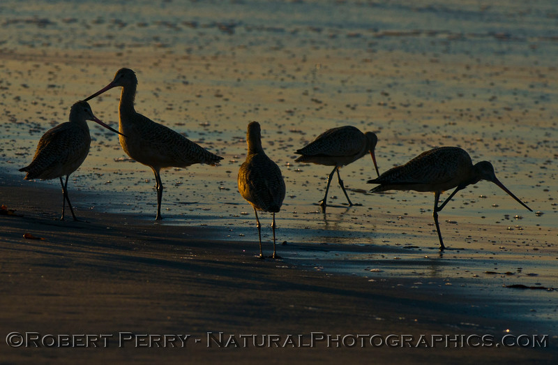 A small flock of marbled godwits (<em>Limosa fedoa</em>) is captured at the edge of the wet sand with the first sunlight of the day.