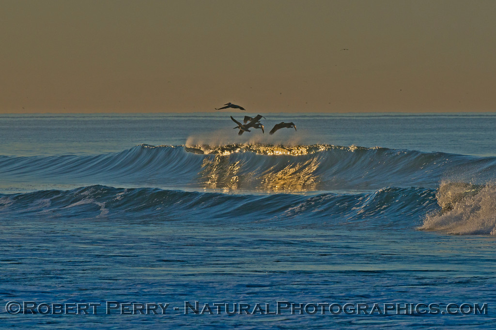 Brown pelicans (<em>Pelecanus occidentalis</em>) ride a glassy wave that reflects the first sunlight that peeks over the mountains.