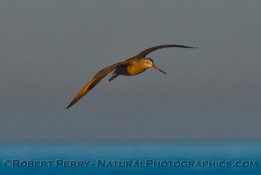 A marbled godwit (<em>Limosa fedoa</em>) is photographed in flight as the morning light illuminates its feathers.