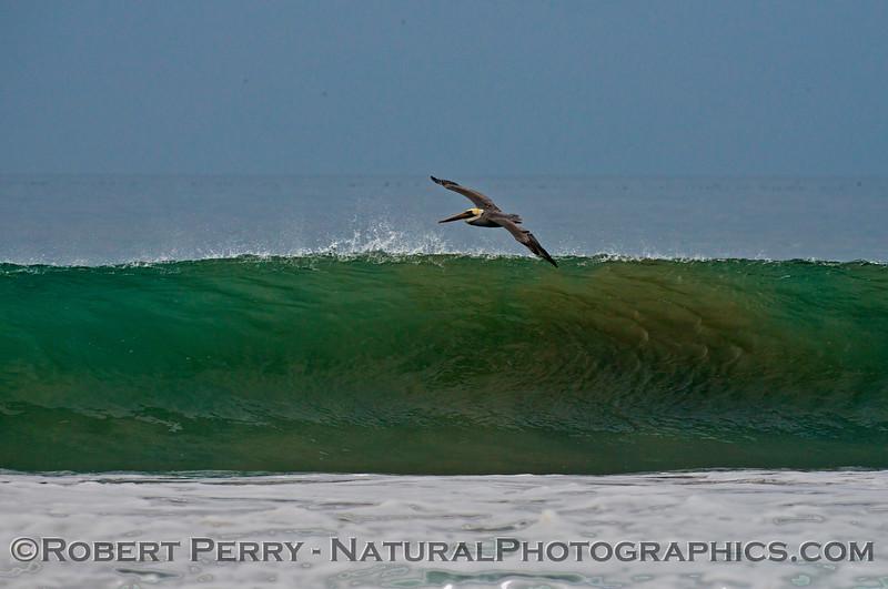 A brown pelican (<em>Pelecanus occidentalis</em>) rides a morning wave.