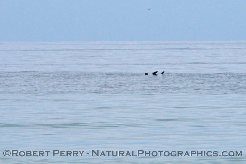A rafting California sea lion (<em>Zalophus californianus</em>) drifts by the research area.