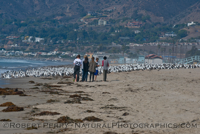 A mass of gulls (mostly <em>Larus occidentalis</em>) and student researchers.