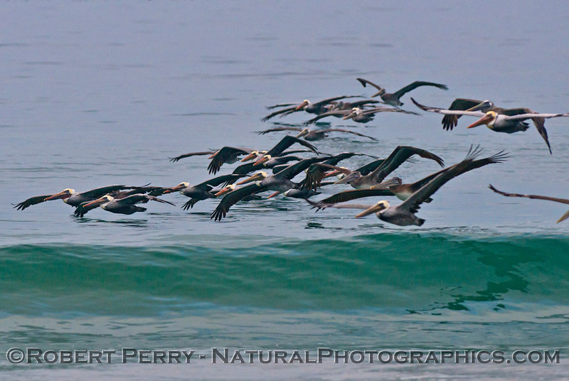 Invasion of the brown pelicans (<em>Pelecanus occidentalis</em>) -  riding the morning waves.