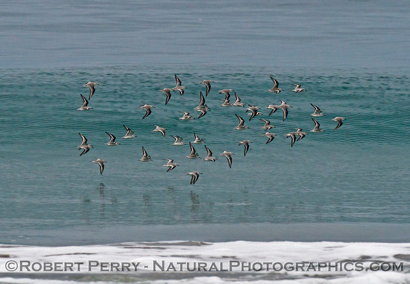 Image 1 of 3:  A flock of sanderlings (<em>Calidris alba</em>) takes a spin out on the waves.