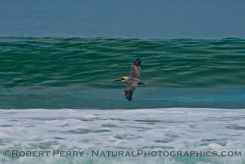 A lone surfer - a brown pelican (<em>Pelecanus occidentalis</em>) rides a morning wave.